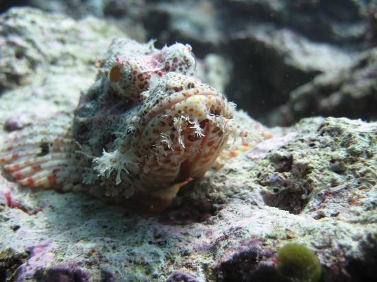 Wakatobi Dive Resort: Tassled Scorpion fish