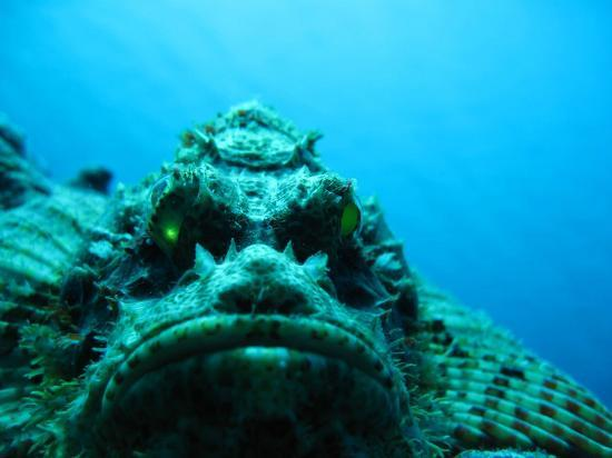 Wakatobi Dive Resort: Tassled Scorpion fish