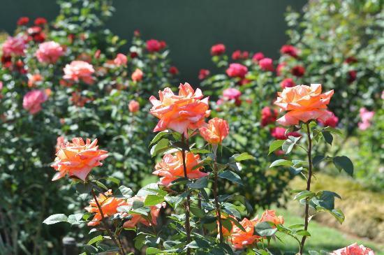 40 on Ilkey B&B : Rose garden in full bloom
