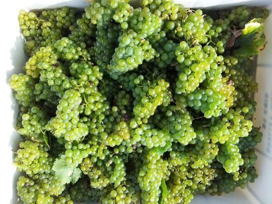 Champagne Dominique Grellet : Le raisin blanc