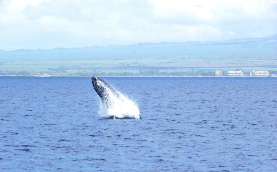 Pacific Whale Foundation: Humpback whale in Maalaea Harbour