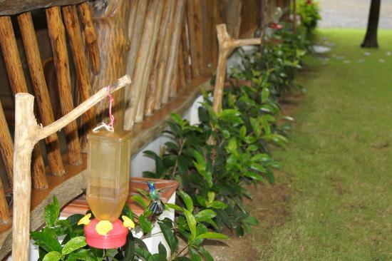 Hotel Playa Cambutal: colibrì