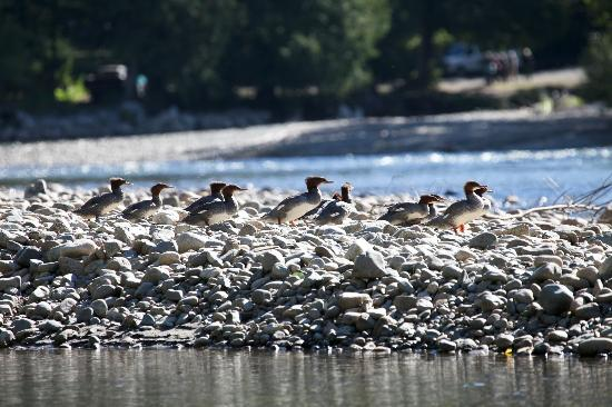 Tweedsmuir Park Lodge & Bear Viewing: Family of mergansers on the Atnarko river seen on slow drift