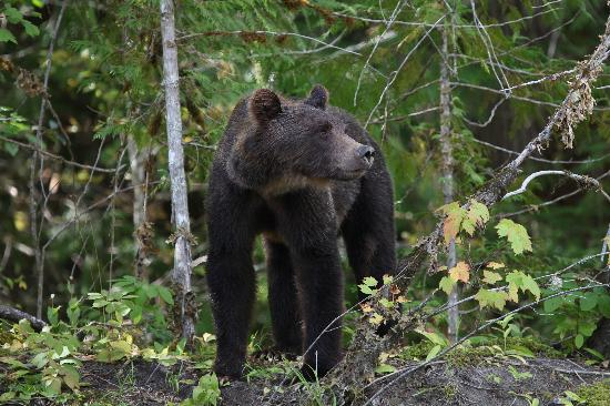 Tweedsmuir Park Lodge: Mother bear seen on slow drift, brilliant
