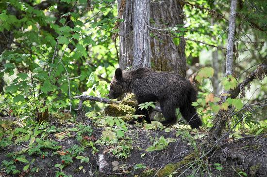 Tweedsmuir Park Lodge & Bear Viewing: Baby bear escaping