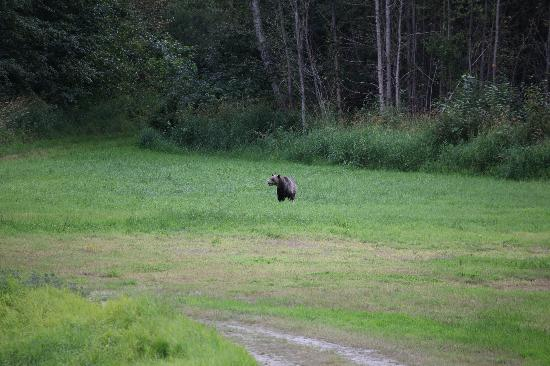 Tweedsmuir Park Lodge: Male bear on the meadow in front of the lodge