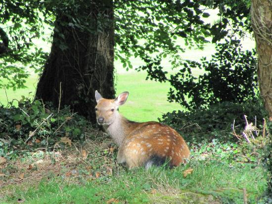 Waterford Castle Golf Club: Fallow deer relaxing at Waterford Castle GC