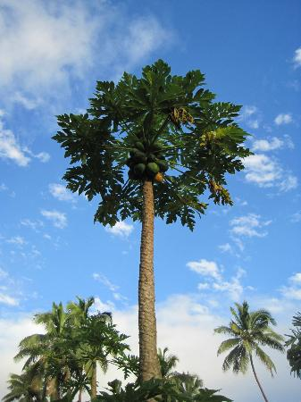 Beqa Lagoon Resort: One of many papaya trees on the grounds