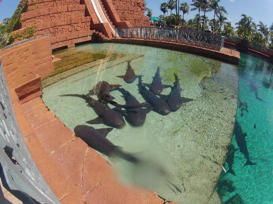 The Cove Atlantis, Autograph Collection: Sharks near the slides