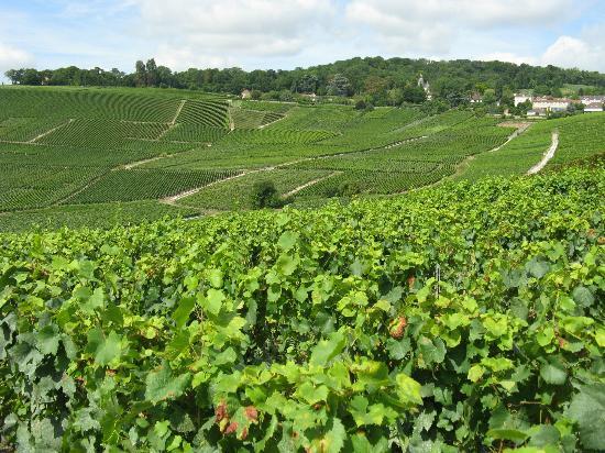Camping Municipal d'Epernay: Epernay region Vineyard