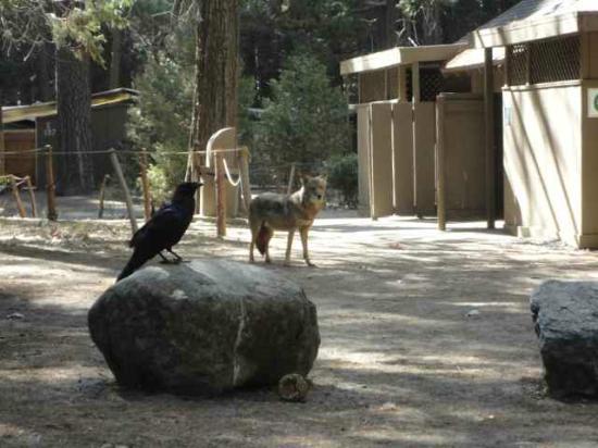 Wildlife In Camp Photo De Housekeeping Camp Parc