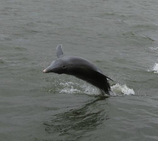 Fort Myers Beach: Bay side dolphin excursion...