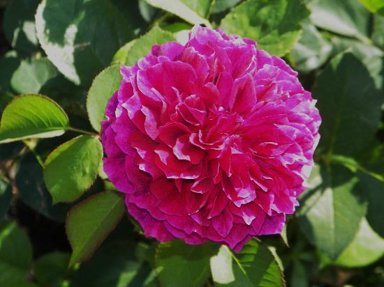 Manito Park: Prospero Rose in Rose Garden