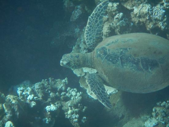 Ultimate Whale Watch & Snorkel: Turtle spotted at our first dive site!