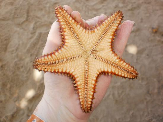 Sunscape Splash Montego Bay: Starfish, Found when snorkeling