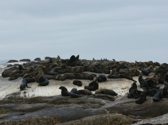 Cape Splendour Day Tours: Cape Fur Seals on Seal Island - book ride out of Hout Bay harbour.