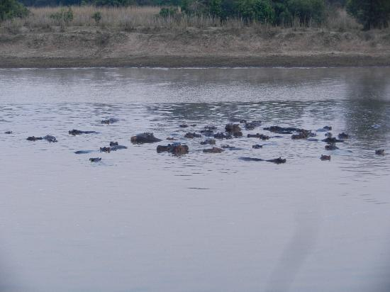 Luangwa Wilderness Lodge: Large pod of hippos next to campsite