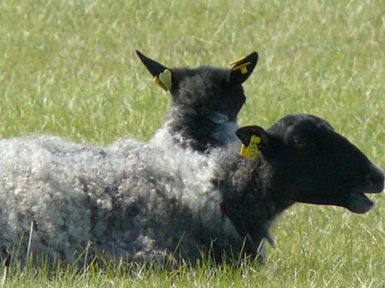 Visby Golfklubb: les moutons du gothand
