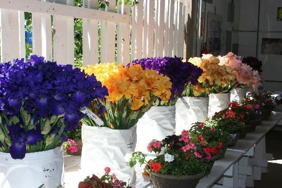 Salem, Oregón: Cut Iris stems for fresh bouquets