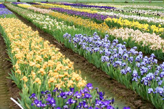 Salem, Орегон: 200 acres of blooming Iris to view