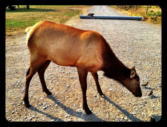 Olympic Game Farm: Elk