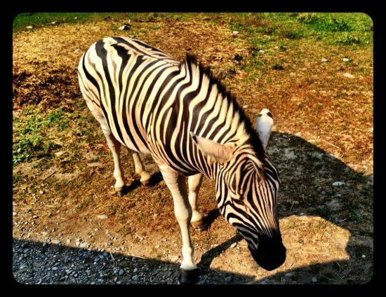 Olympic Game Farm: Zebra