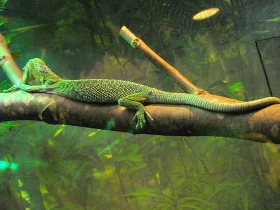 The Manchester Museum: Lizard