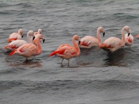 Porvenir, Şili: Flamencos en el estrecho