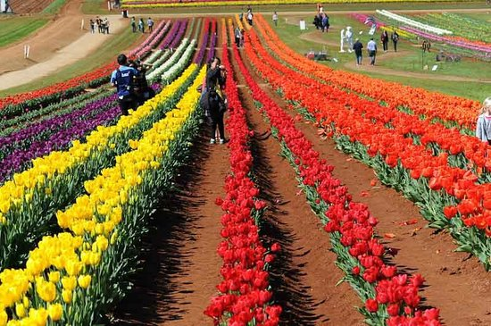 Tesselaar's Bulbs and Flowers: Tulip farm