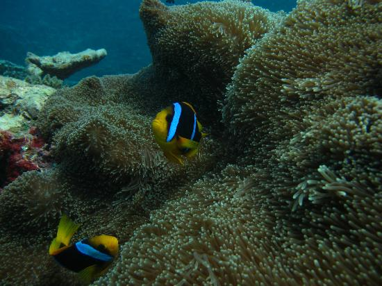 Nemo, Dive Savaii