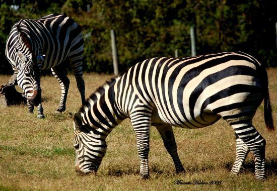 Nashville Zoo: Zebra
