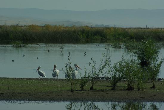 Lower Klamath National Wildlife Refuge: Pelican Hangout