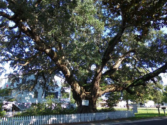 Inlet View Bar and Grill: Live Oak - 2000 year old tree