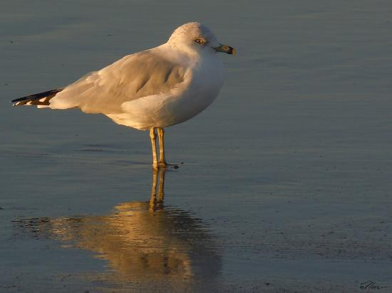 Normandie Oceanfront Motor Inn: Seagull at Dusk on the beachfront