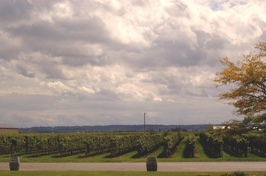 Trius Winery: View of the Vineyard from Tasting Area