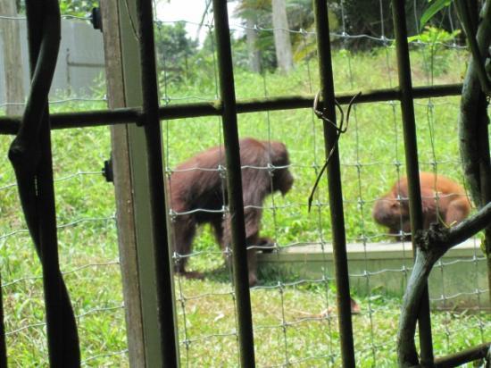 Bukit Merah Laketown Resort: orng utan