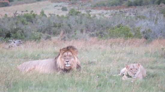 Gondwana Game Reserve: Lions