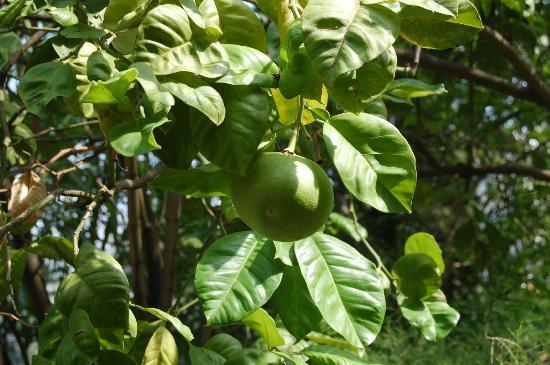 La Neffola Residence Sorrento: cedri e limoni