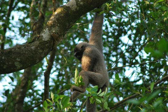 Tabin Wildlife Resort: our neighbors: gibbons