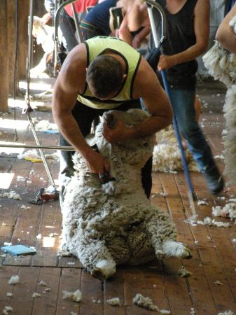 Shear Outback: One sheep at a time.