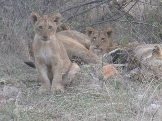 Sausage Tree Safari Camp: Close-up experience with the cubs