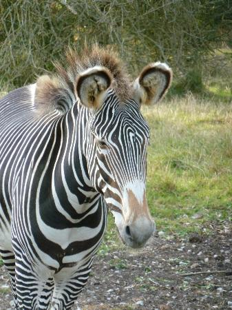 Livingstone Lodge: Grants Zebra
