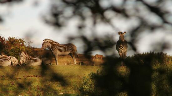 Giraffe Lodge: Zebras grazing