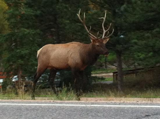 Streamside on Fall River: Elk on road by Streamside