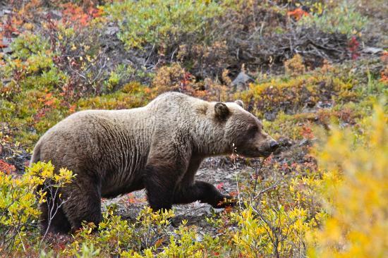 Denali: Grizzly