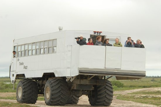 The Tundra Buggy Adventure - Day Tours: A large back observation deck allows guests the chance to see bears up close.