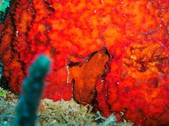 Scubaqua Dive Center: Hidden FrogFish