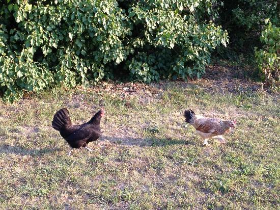 Couleur Lavande: chickens roaming the grounds