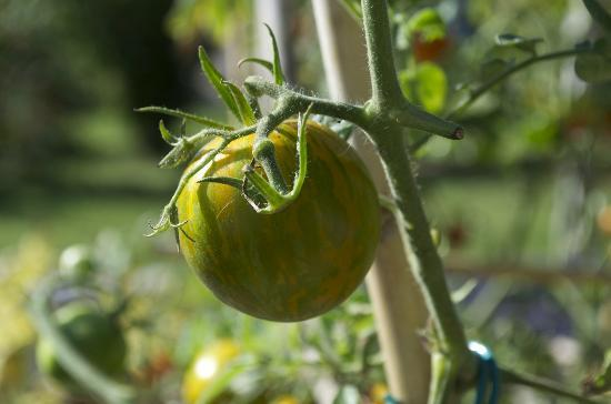 Couleur Lavande: fresh tomatoes