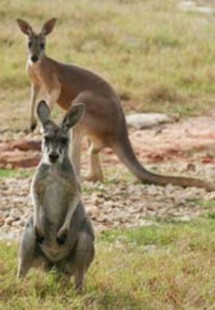 Natural Bridge Wildlife Ranch: Kangaroo